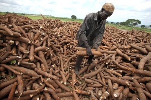 Cassava for sell