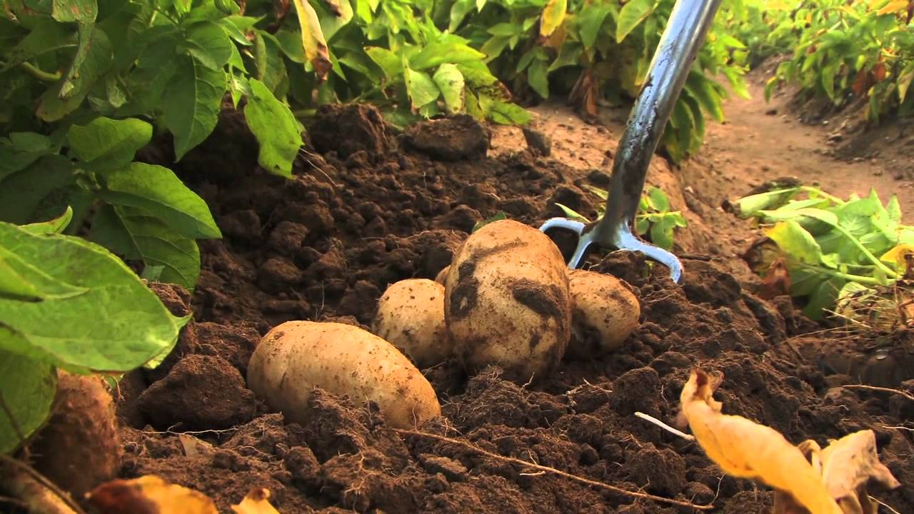 How to start Potato Farming in Nigeria